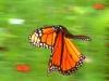 Monarch Butterfly in flight.