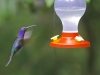 The Violet Saberwing Hummingbird flying to a feeder at the Cloud Forest of Monteverde, Costa Rica.