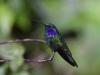 Green Violet Ear Hummingbird, Reserva Biológica Bosque Nuboso Monteverde, Costa Rica.