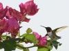 Male Ruby-throated Hummingbird, Piedmont region, North Carolina.