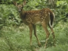 White-tailed Deer spotted faun