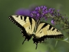 Tiger Swallowtail10