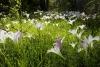 Wild Lilies in woods, Piedmont region of North Carolina