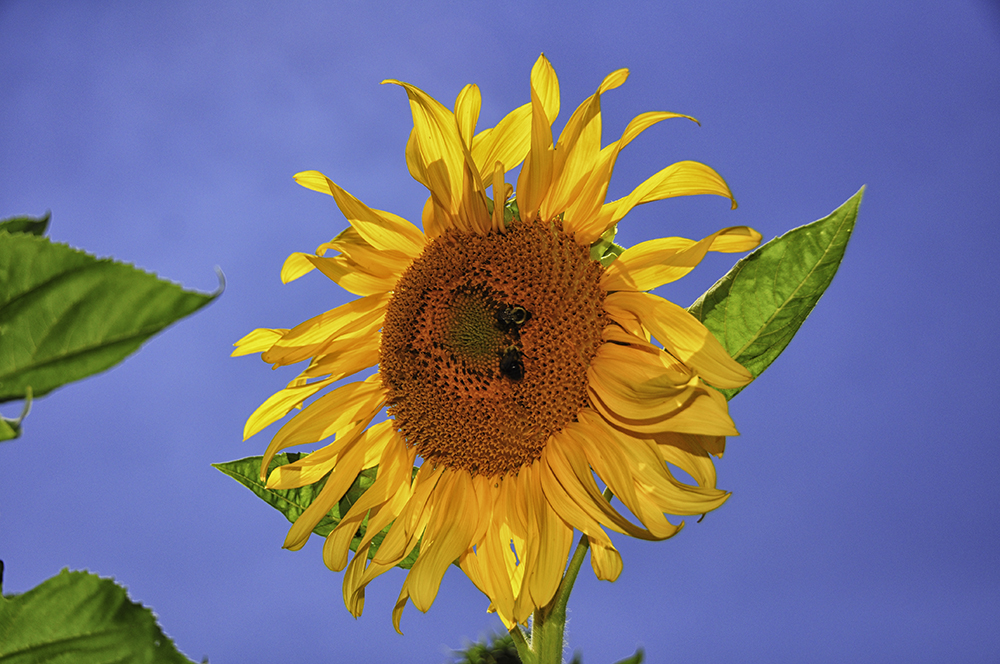 Large Sunflower with bees.