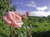 Garden rose with morning dew, Atenas, Costa Rica
