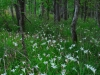 Wild Lillies in woods, Piedmont of North Carolina.
