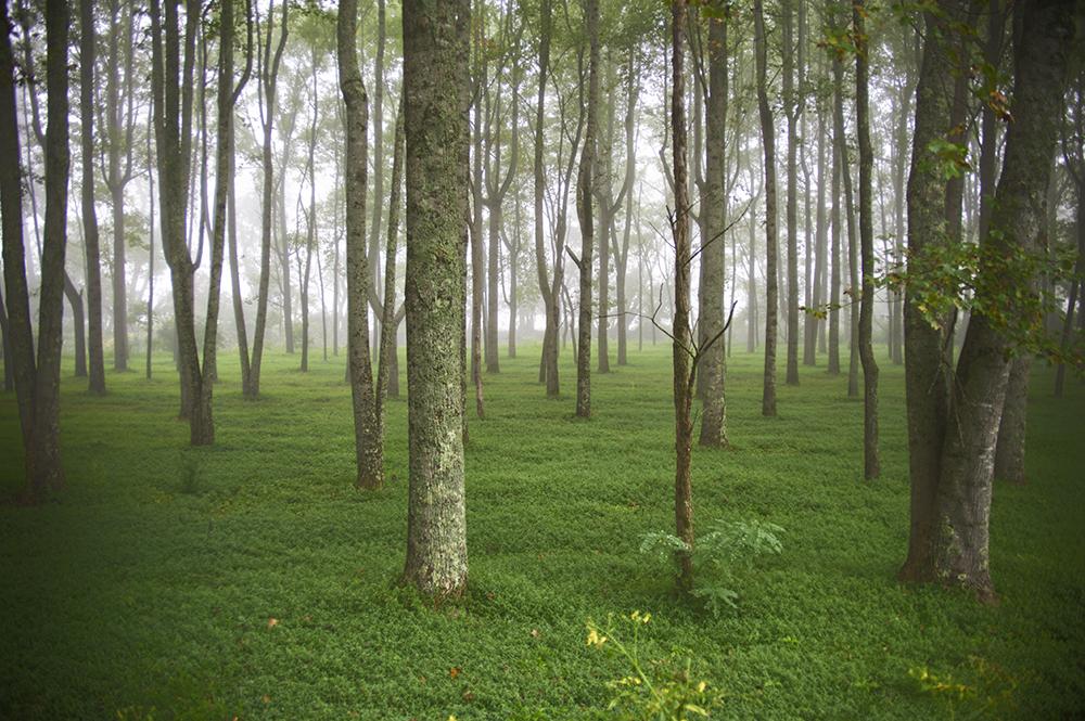 TreesFogBrevard1
