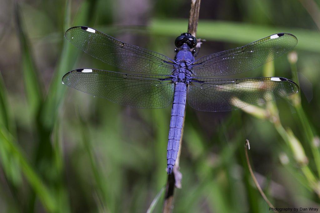Blue Darner Dragonfly (family Aeschnidae).