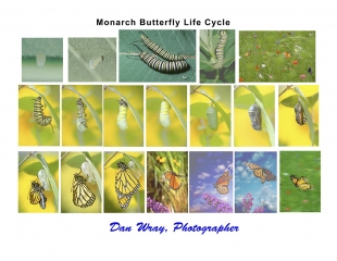 A promotionall piece showing images of the complete life cycle of the Monarch Butterfly.