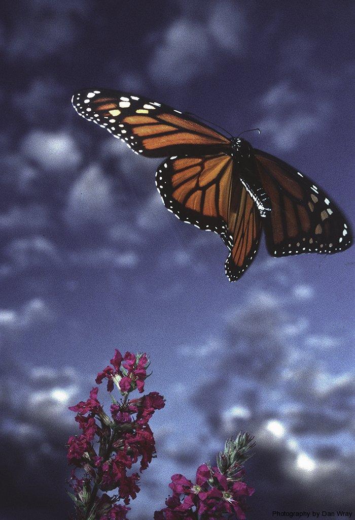 MonarchFlight1