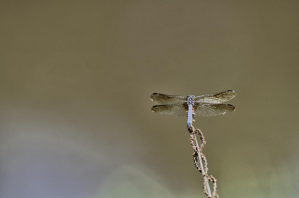 Restng Dragonfly