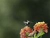 Bee hovering over a Lantana flower.