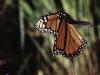 Monarch Butterfly in flight over flowers.