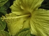 Yellow Hibiscus close-up.