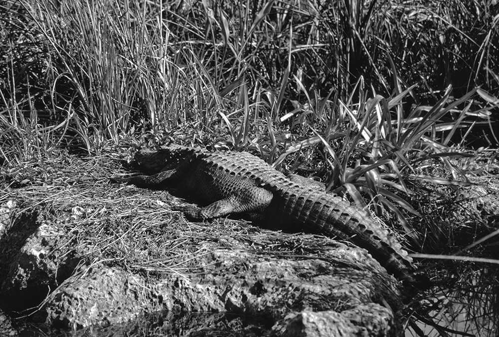 American Alligator, Everglades National Park, Florida.