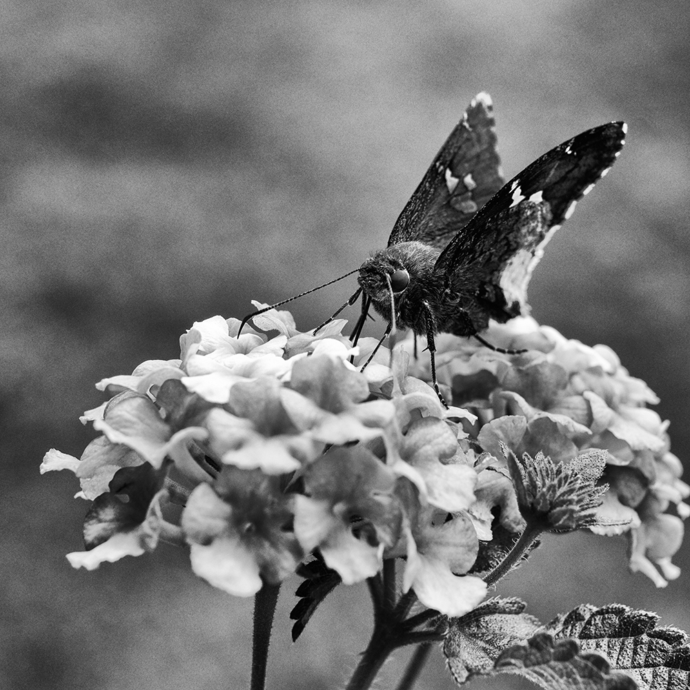 Butterfly on Lantana (Butterfly Bush) flowers. Taken with a Nikon close-up filter on the Fujifilm 35mm lens. Xpro 1 as a close-up camera.