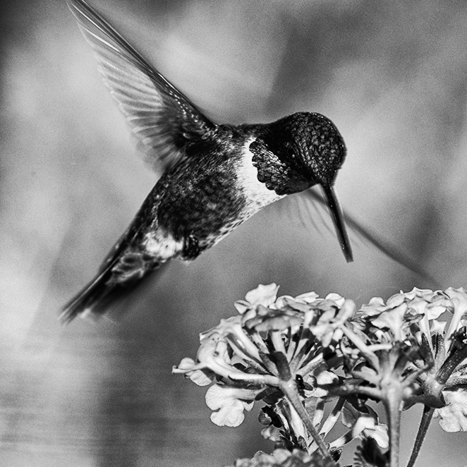 Male Ruby-throated Hummingbird at Lantana flower (Butterfly Bush).