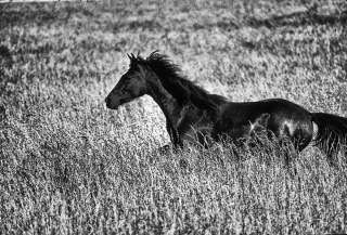 Half Arabian and half Appaloosa horse running in tall grass of unmowed pasture.