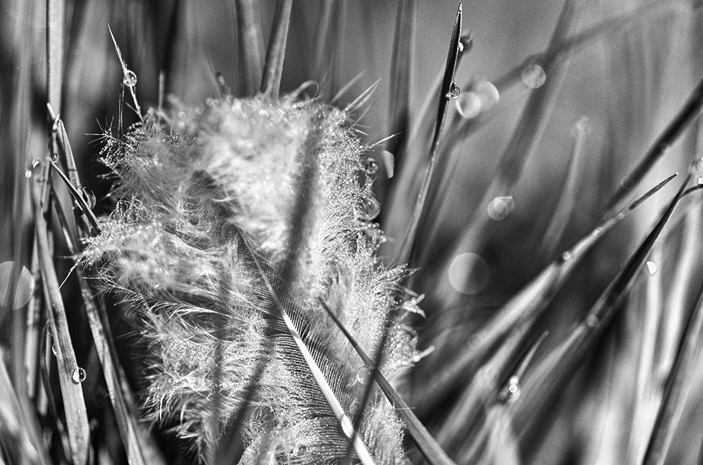chicken feather in grass in morning dew.