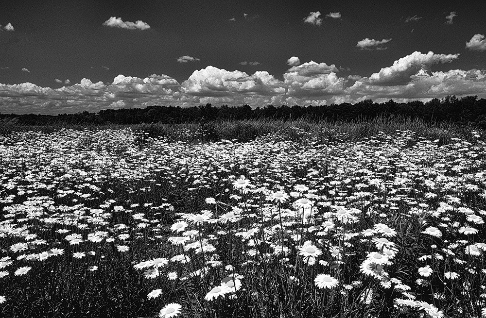Field of wild Daisies, upstate, New York