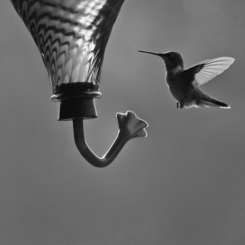 Ruby-throated Hummingbird hovering in front of a backyard feeder.