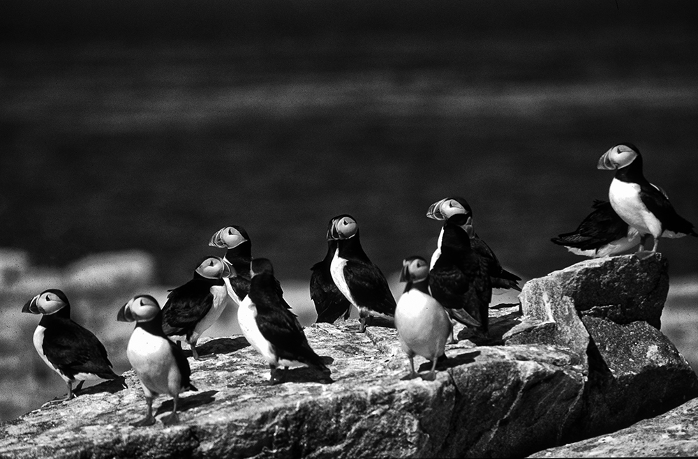 Atlantiic Puffins (Fratercula arctical) Machias Seal Island, Gulf of Maine.