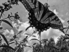 From the Nature in Black and White Series. A Tiger Swallowtail butterfly on Butterfly Bush.