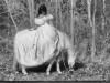 woman in white gown on white horse.