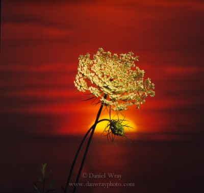 Queen Anne's Lace, sunset.