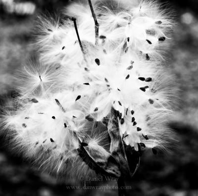 MIlkweed pod burst open exposing seeds.