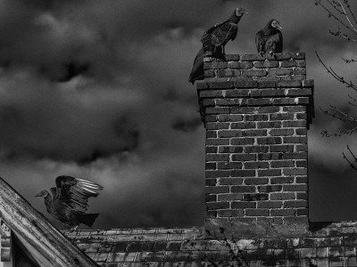 Vultures on a house top and chimney in the Piedmont of North Carolina.