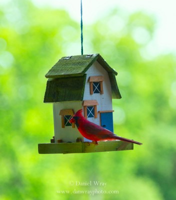 Male Cardinal on bird feeder.