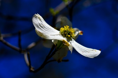 Dogwood Blossoms, Piedmont of North Carolina.