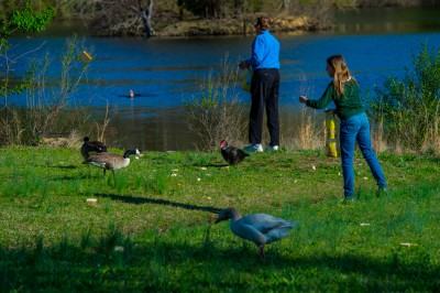 Man and girl feeding bread to ducks and geese.