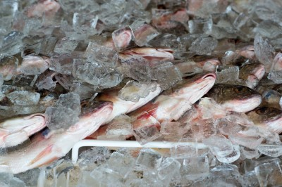 Fresh ocean Fish on ice.