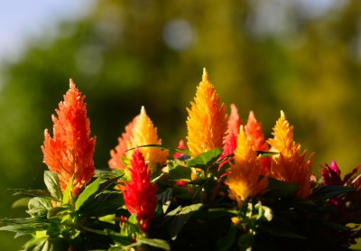 The feathery flower of Celosia.