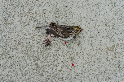 Dead Sparrow and blood drops found beneath the window at a grocery store.
