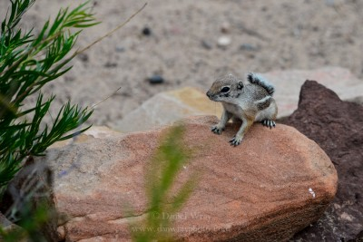 Western Chipmunk, New Mexico