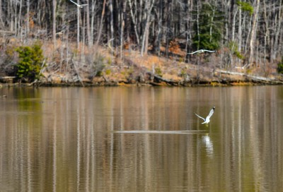 Sea Gulls fishing on Falls Lake, Uwharrie mountains, North Carolina.