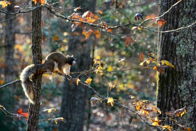 Fox Squirrel, Piedmont on North Carolina, Uwharrie Mountains region.