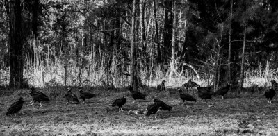Turkey Vultures and Carrion on roadside.