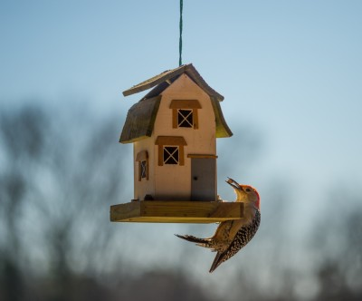 Red-bellied Woodpecker, male at bird feeder, Piedmont of North Carolina.