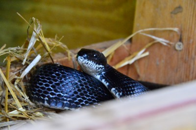 Blacksnake in chicken nest box after eggs.