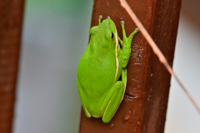 Green Tree Frog, Piedmont of North Carolina.