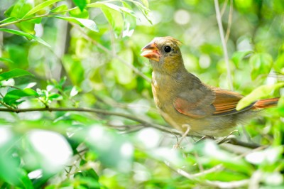 Juvenile Cardinal in bush.