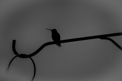 Silhouette of Ruby-throated Hummingbirs perched on feeder support.