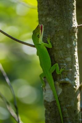 Chameleon Lizard.
