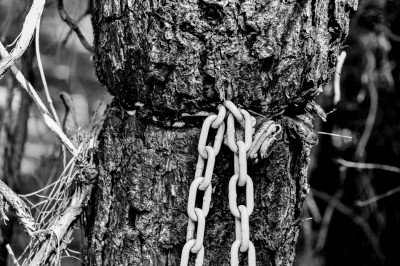Lock and chain grown over by tree.