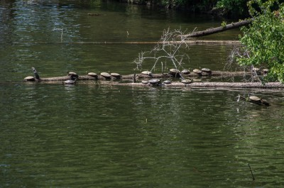 Turtles, Lake Tillery, North Carolina.