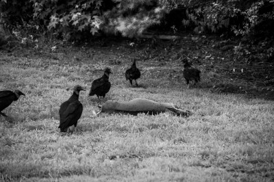 Turkey Vultures at a deer carcas.